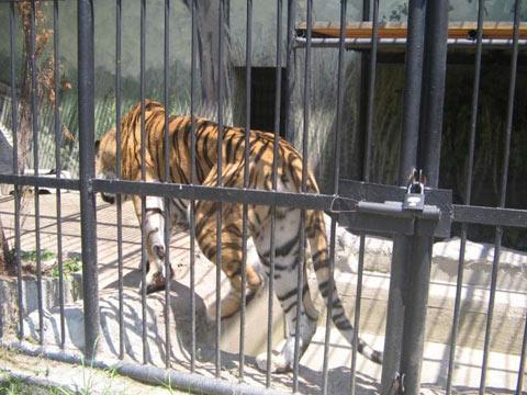 zoo_sofia_tiger_cage.jpg